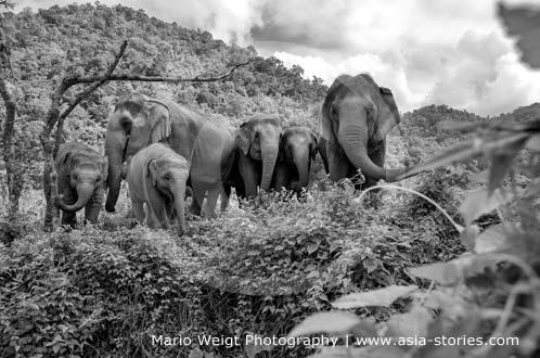 Elefantenherde im Elephant Nature Park (Elefantenpark) von Sangduen Lek Chailert in Thailand | Mario Weigt Photography