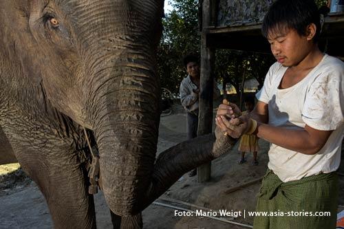 Arbeitselefanten in Myanmar (Burma, Birma) | Foto: Mario Weigt