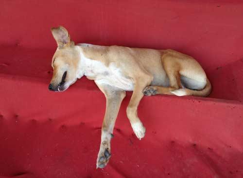 Reisetipp Laos: Mit Tollwut ist in Laos nicht zu spaßen. Auch wenn dieser Hund so friedlich schläft, streicheln sollte man ihn trotzdem nicht! Foto: Mario Weigt