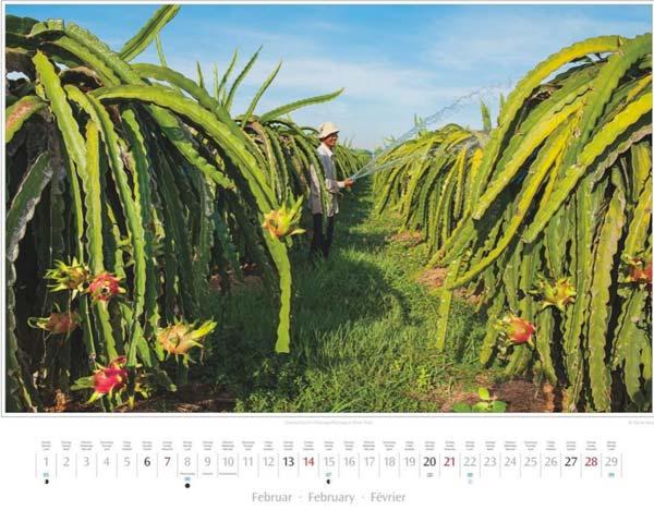 Monat Februar vom Vietnam Kalender 2016 | Drachenfrucht-/Pitahaya-Plantage in Phan Thiet | Foto Mario Weigt | Verlagshaus Würzburg/Stürtz