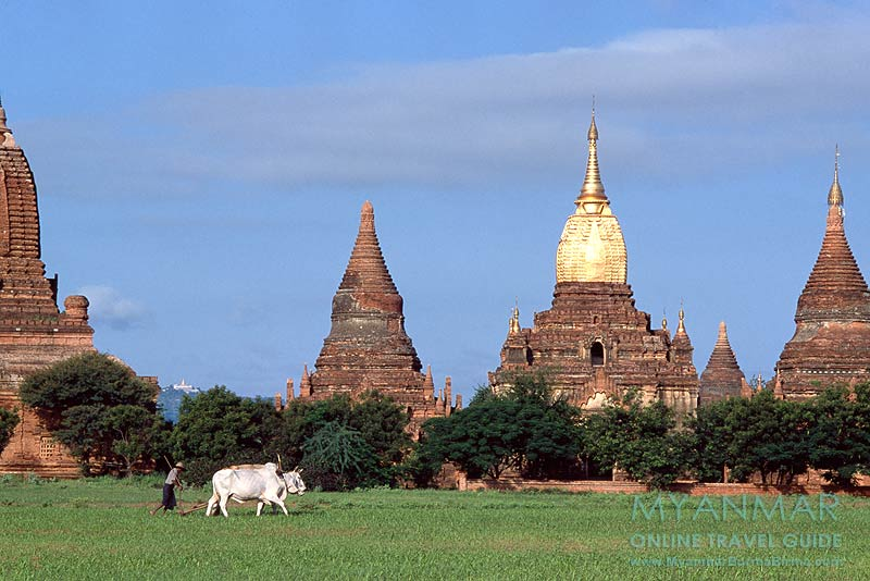 Myanmar Reisetipps | Bagan | Ein Bauer bestellt zwischen den Tempeln sein Feld.