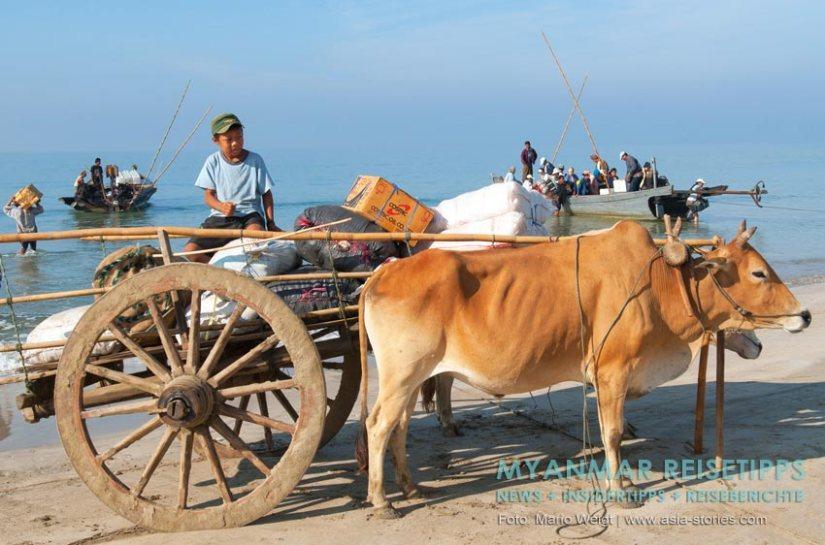 Myanmar Reisetipps | Ochsengespann am Ngapali Beach