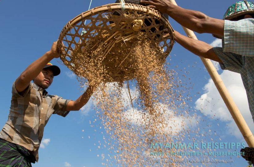 Myanmar Reisetipps | Ye und die Umgebung | Reisbauern bei der Arbeit
