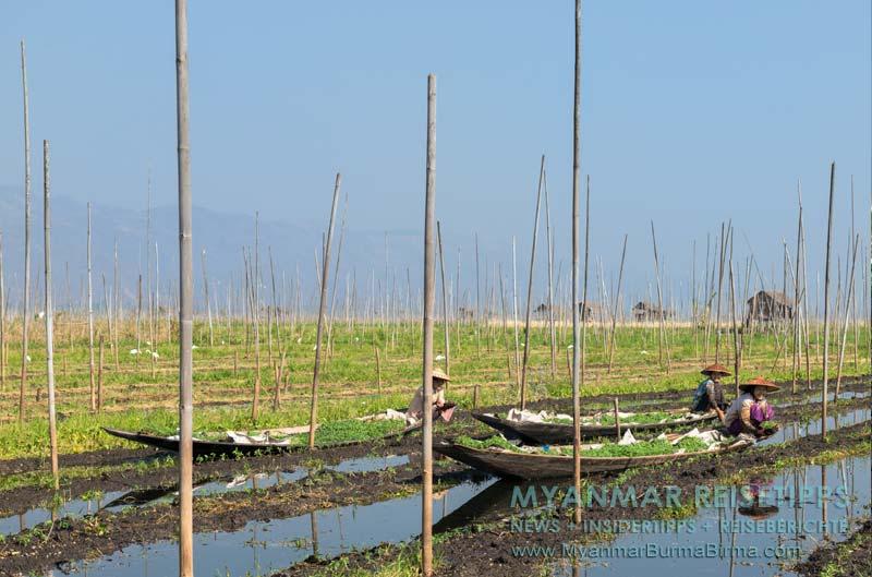 Myanmar Reisetipps | Inle-See und Indein | Frauen vom Volk der Intha stecken im schwimmenden Garten auf einer Parzelle Tomatenpflanzen.