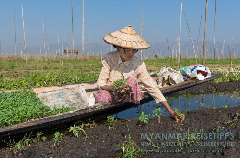 Myanmar Reisetipps | Inle-See und Indein | Eine Frau vom Volk der Intha steckt im schwimmenden Garten auf einer Parzelle Tomatenpflanzen.