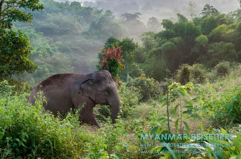 Myanmar Reisetipps | Bhamo | Elefant nach der Arbeit im Camp