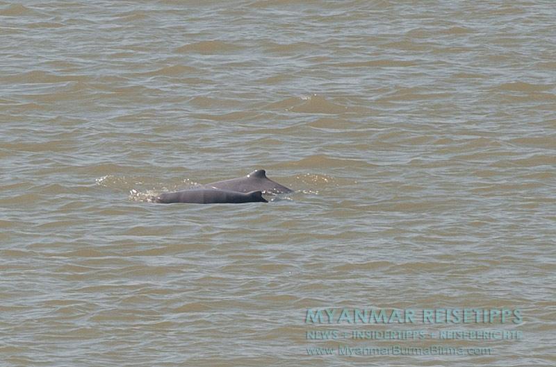 Myanmar Reisetipps | Flussfahrt Bhamo nach Mandalay | Irrawaddy-Delfine zwischen Katha und Mandalay