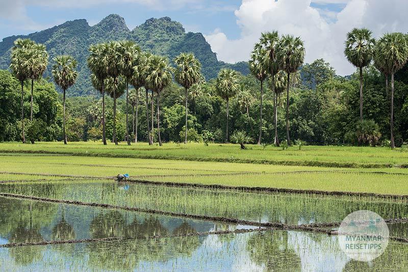 Myanmar Reisetipps | Hpa-an | Bauer steckt Reis für die zweite Ernte