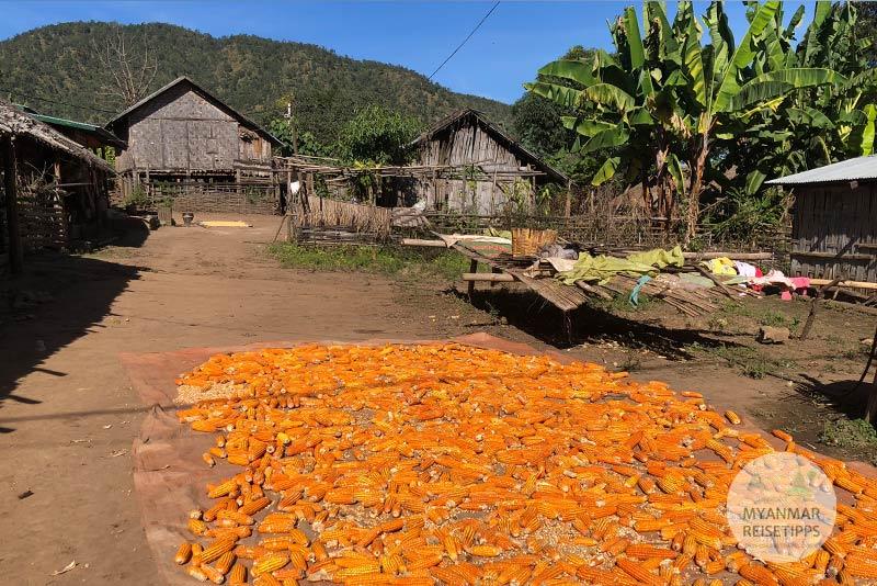 Myanmar Reisetipps | Loikaw | Trocknen von Mais im Lisu-Dorf I-San