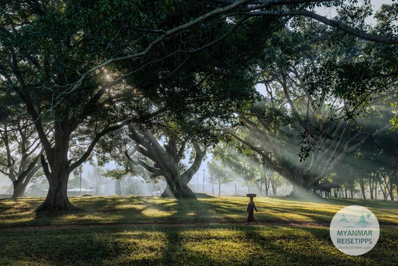 Myanmar Reisetipps | Pindaya | Banyan-Bäume in der Nähe vom Aufgang zur Höhle