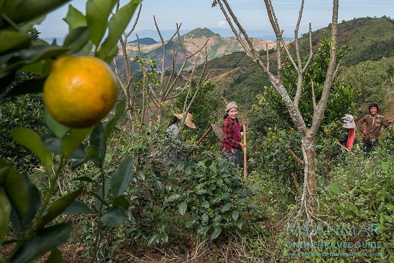Myanmar Reisetipps | Umgebung von Kalaw | Farmer in einer Mandarinen-Plantage