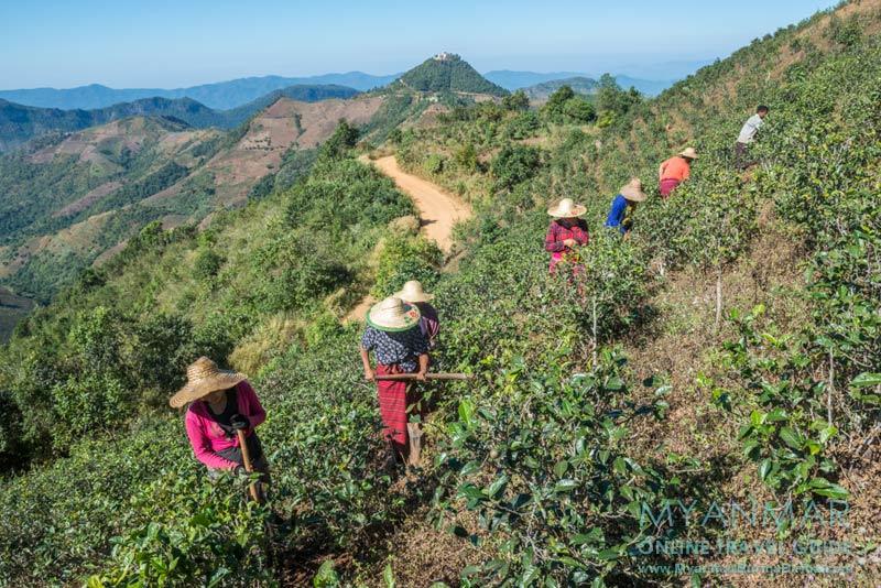 Myanmar Reisetipps | Umgebung von Kalaw | Farmer in einer Teeplantage. Im Hintergrund die Taung-Pe-Pagode.
