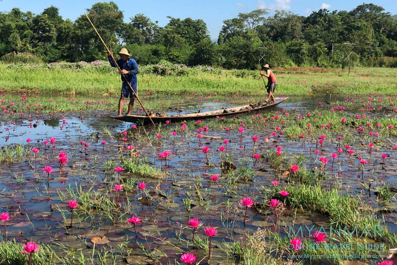 Myanmar Reisetipps | Inle-See | Seerosen an der Inle Lake East Corridor Road