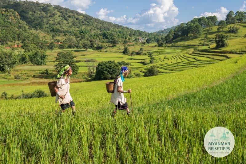 Myanmar Reisetipps | Loikaw | Reisterrassen im Dorf Pan Pet