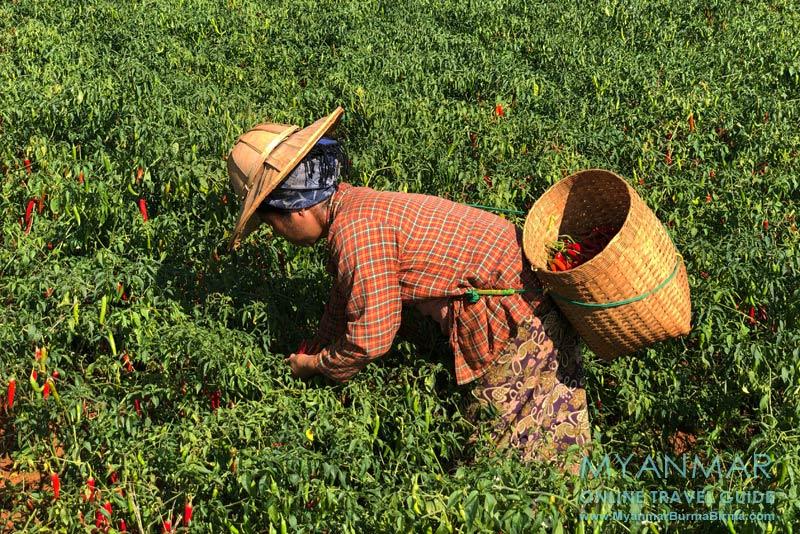 Myanmar Reisetipps | Umgebung von Kalaw | Chiliernte