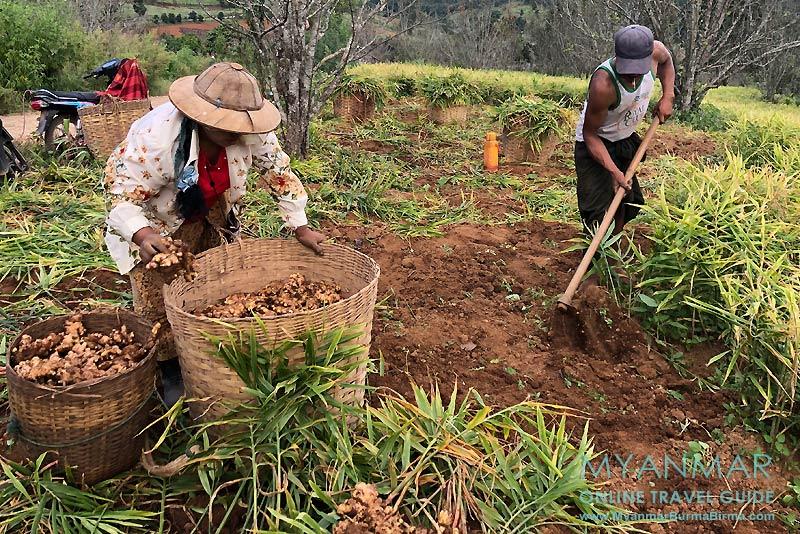 Myanmar Reisetipps | Umgebung von Kalaw | Ingwerernte