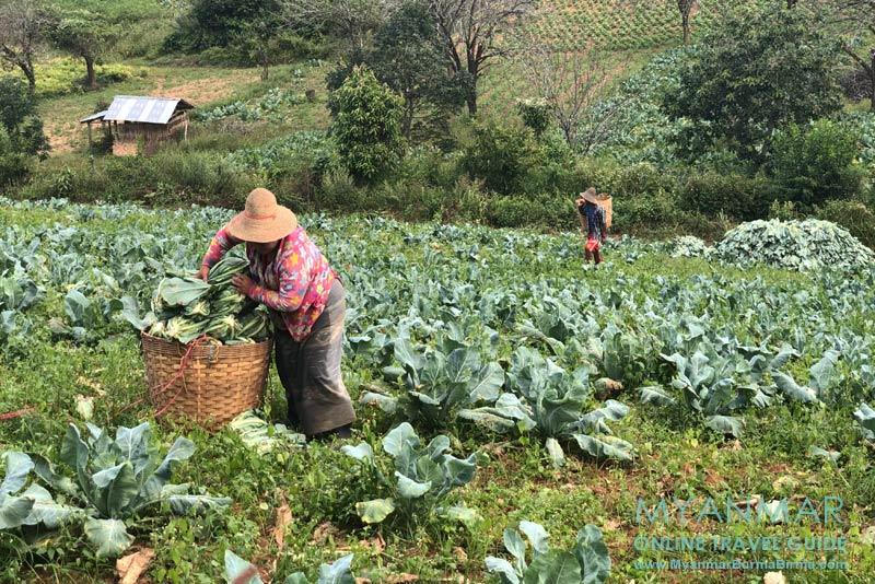 Myanmar Reisetipps | Umgebung von Kalaw | Kohlernte