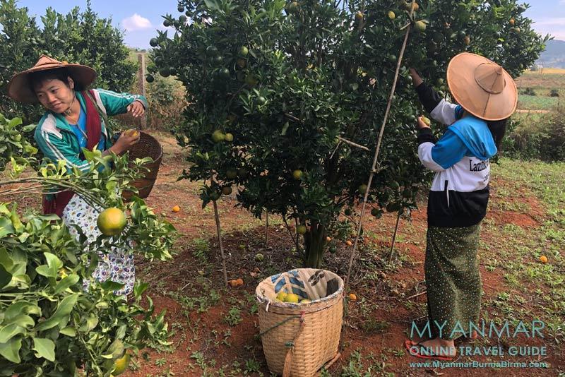 Myanmar Reisetipps | Umgebung von Kalaw | Orangenplantage an der Straße Kalaw-Loikaw