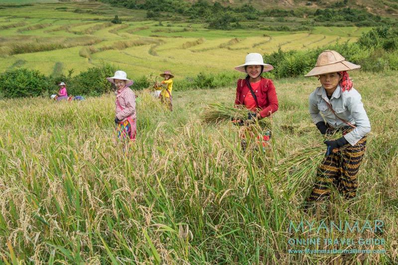 Myanmar: Reisernte in der Nähe von Kalaw