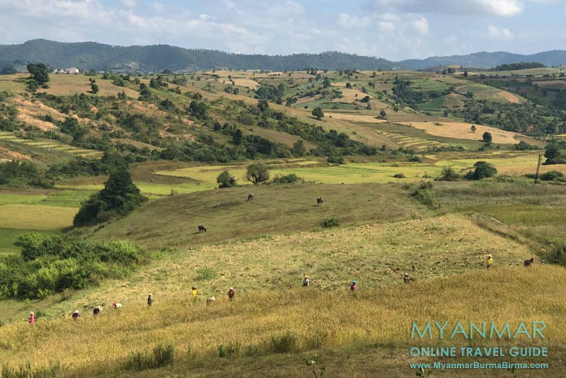 Myanmar Reisetipps | Umgebung von Kalaw | Reisernte an der Straße Kalaw-Loikaw