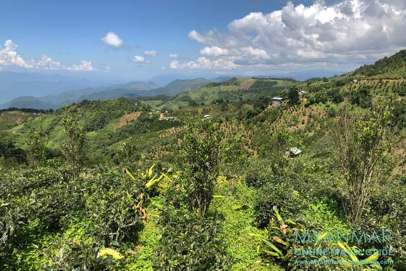 Myanmar Reisetipps | Umgebung von Kalaw | Blick vom Bergkamm auf Teeplantagen