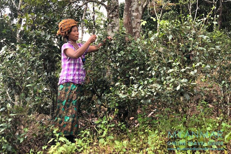 Myanmar Reisetipps | Pinlaung | Pa-O-Frau pflückt Teeblätter