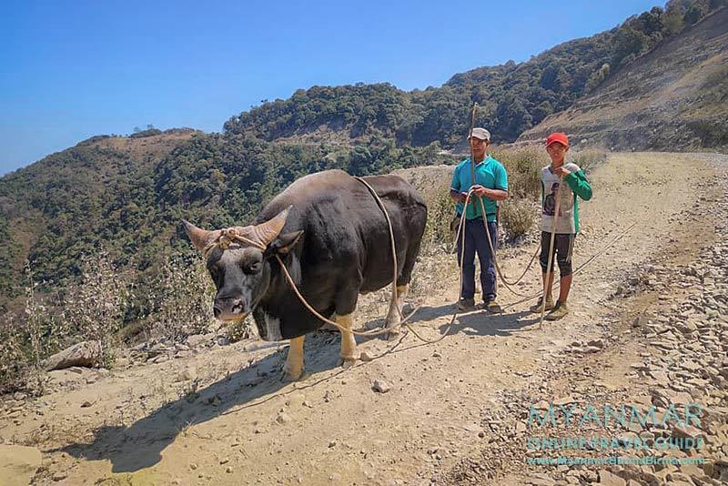Myanmar: Tipps für Mindat Umgebung. So siehr ein Mithun (Gayal) aus.