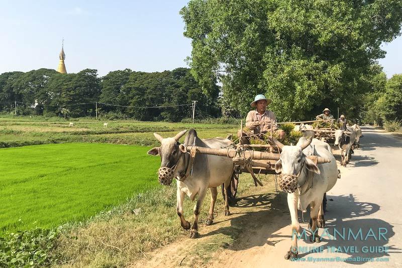 Myanmar Reisetipps | Umgebung von Mandalay | Inwa | Mit dem Ochsenkarren fahren die Bauern zu den Reisfeldern.