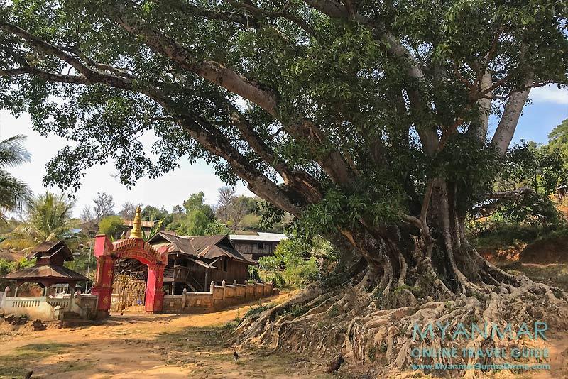 Myanmar Reisetipps | Hsipaw | Kloster und Banyan-Baum am Dorfeingang in Pankam